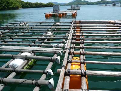 2010年5月15日(土)左側が竹の古い筏で右側が間伐材で組んだ新しい筏です