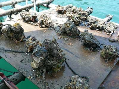 2010年6月12日(土)見た目には岩牡蠣とは判別出来ない程に海藻類が付着しています