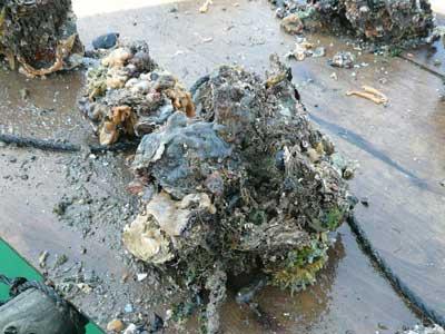2010年6月12日(土)掃除した後の1年間を海の中で育成した岩牡蠣です
