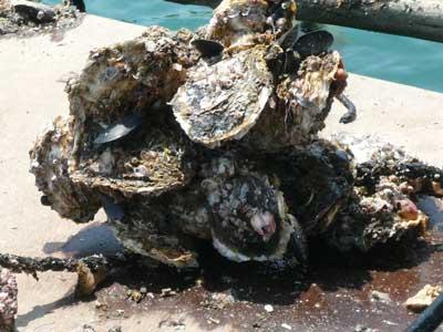 2010年6月12日(土)海藻類の付着物を取り除くと見た目にも岩牡蠣だと判断出来ます