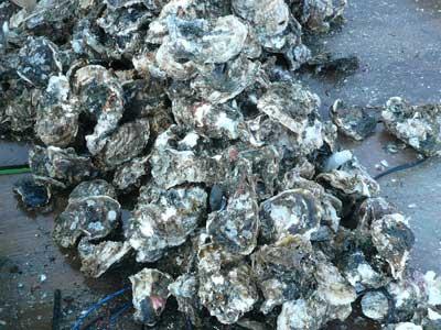 2010年6月12日(土)硬い岩牡蠣はタガネを使用したりエアーハンマーで効率良く分離しています