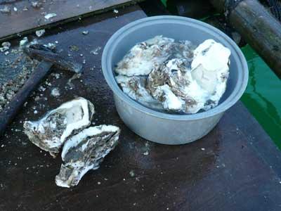 2010年6月12日(土)岩牡蠣は殻の一部を破損させてしまうと商品としての価値は無くなります