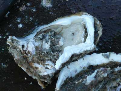 2010年6月12日(土)岩牡蠣の殻が半分も破損する事もあります