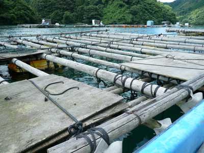 2010年7月18日(日)舞鶴は吉田の入り江に設置している筏があります