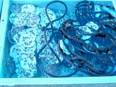 2010年9月6日(月)気温が高いので岩牡蠣の種が弱らないように海水をかけ流しています