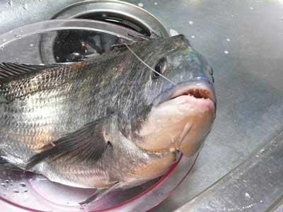 2011年1月9日(日)船頭さん経由で釣り上げた良型のチヌをお礼に頂きました