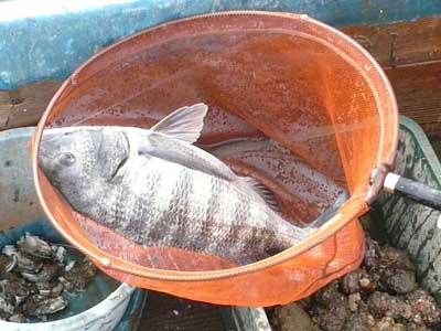 2011年2月13日(日)このチヌは何と2投目で釣り上げられました