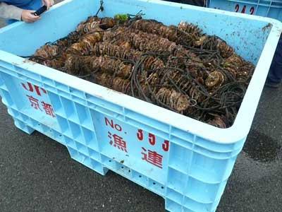 2011年3月1日(火)田井漁協で育成された稚牡蠣は良く付着しています