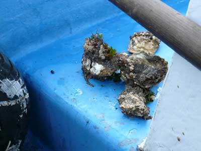 2011年4月30日(土)ロープやオモリには牡蠣が付着していました